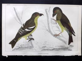 Goldsmith C1850 Hand Col Bird Print. White Winged & American Crossbill